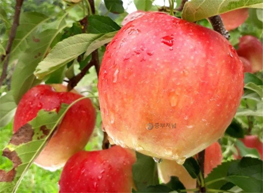 사본 -아리수 사과.jpg